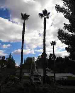 Estates Tree Service Palm Tree Trimming San Diego