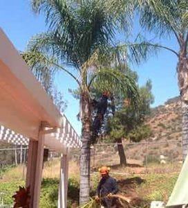 Fallbrook Palm Tree Service