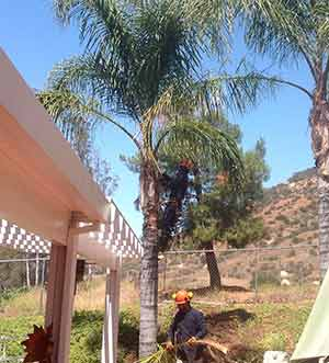 Vista Palm Tree Trimming at a home with two men trimming a palm tree