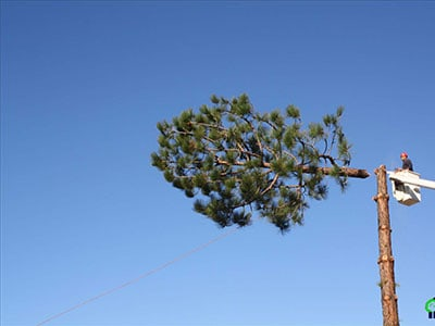 Estates Tree Service Trimming the top of a tall pine tree in Poway